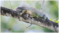 Green Iguana / Iguana Verde (Panama Birds & Wildlife Photos) Tags: reptile reptiles reptíl lizard iguana lagarto panama panamawildlife wildlife wildlifephotography wild wildanimal animal nature naturephotography ngc
