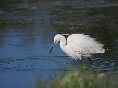 Egret (quarzonero ...Aldo A...) Tags: egrettagarzetta egret bird nature natura coth sunrays5 coth5 alittlebeauty