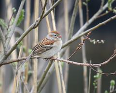 Field Sparrow (malarchie) Tags: fieldsparrow spizellapusilla libertystatepark jerseycity