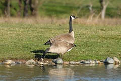 Branta canadensis (Canada Goose) pair (birdgal5) Tags: california placercounty roseville suncity entrancepond aves anatidae pair canadagoose branta brantacanadensis nikon d200 300mmf4dafs tc14eii