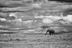 A Life in Watercolor (Vincent Chopard • Wildlife photographer) Tags: nikond800 nikon nikonphotography nikonwildlife nikkor400mmf28 swissphotographer swissartist swiss elephant nature landscape kenyawildlife kenya masaimara wildanimal freeanimal animal
