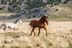 Mustangs (Just Used Pixels) Tags: wildhorses mustangs utah westdesert