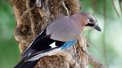 a Jay in a tree  - dim light and very high ISO (Franck Zumella) Tags: jay geai oiseau bird 20000 iso high arcre tree colors couleurs green vert bleu blue