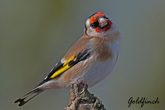 GOLDFINCH  /  CARDUELIS  CARDUELIS. (Tom Webzell) Tags: naturethroughthelens