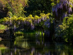 Oasi di Ninfa (lucafabbricesena) Tags: oasi ninfa lazio italy wisteria glicine reflection water river bridge ruins garden historic nikon d800 flowers grass wistaria morning light stilllife flower nature green colors