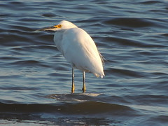 Snowy Egret (Two Cats Productions) Tags: