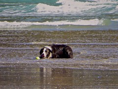 Playing Ball with the Ocean (Ginger H Robinson) Tags: bordercollie playingball pacificocean waves tide shortsands beach manzanita oregon northwestcoast oswaldstatepark water dog