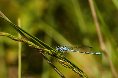 agrion à large pattes (ptxjp) Tags: nature béarn printemps animal insecte exterieur nikond300 captureone