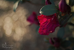 Companion (donna.chiofolo) Tags: nature flower light bokeh details composition dof colors leaf companion doctorwho amy atmosphere mood moodphotography patience azalea beauty red friend