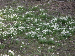 IMGP2301 (Alvier) Tags: araschgen chur daheim frühling blumen krokus schneeglöggli osterglocken
