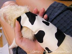 ペット服(牛コスプレ)の写真13