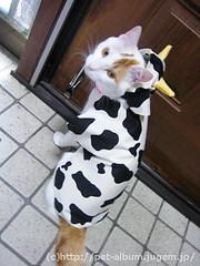 ペット服(牛コスプレ)の写真60