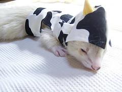 ペット服(牛コスプレ)の写真53