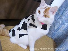 ペット服(牛コスプレ)の写真56