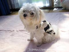 ペット服(牛コスプレ)の写真45