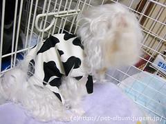 ペット服(牛コスプレ)の写真24