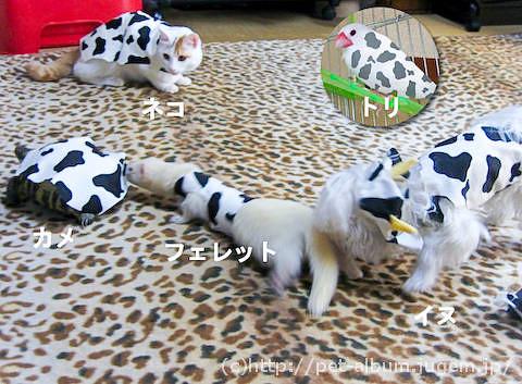 ペット服(牛コスプレ)の写真8