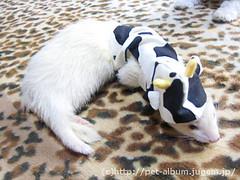 ペット服(牛コスプレ)の写真3