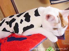 ペット服(牛コスプレ)の写真18