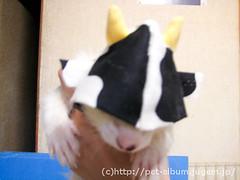 ペット服(牛コスプレ)の写真21