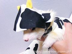 ペット服(牛コスプレ)の写真23