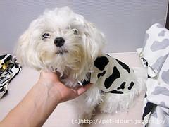 ペット服(牛コスプレ)の写真27
