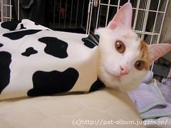 ペット服(牛コスプレ)の写真15