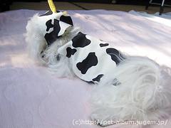 ペット服(牛コスプレ)の写真50
