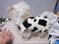ペット服(牛コスプレ)の写真28