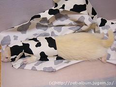 ペット服(牛コスプレ)の写真10