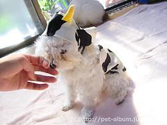 ペット服(牛コスプレ)の写真46