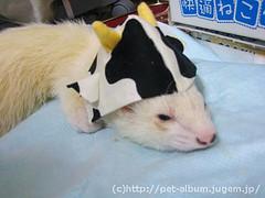 ペット服(牛コスプレ)の写真20