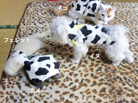 ペット服(牛コスプレ)の写真7