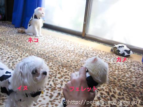 ペット服(牛コスプレ)の写真6