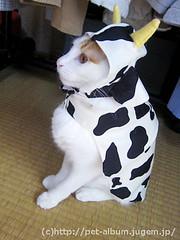 ペット服(牛コスプレ)の写真51