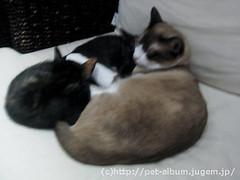 猫カフェのネコの写真4