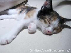 猫カフェのネコの写真10