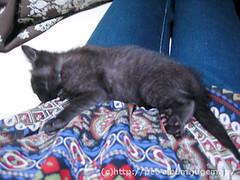 猫カフェのネコの写真11